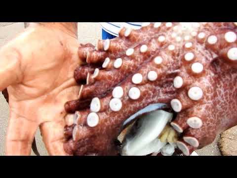 Hombre atrapa pulpo grande!, vea la lucha de dos brazos vs ocho tentáculos con poderosas ventosas