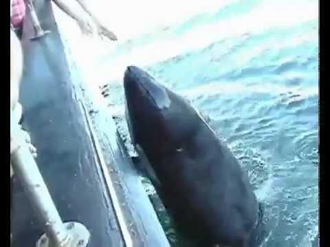 схватка касатки с белой акулой видео