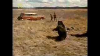 Медведь в бешенстве!