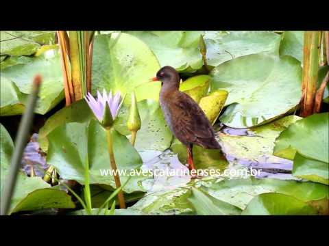 Saracura-do-banhado - Cristiano Voitina