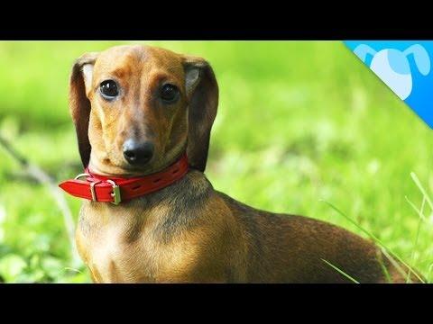 dachshund: special dog!