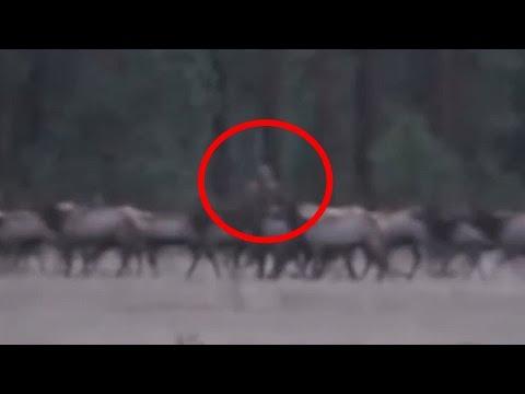 Bigfoot Seen Standing in the Background of Running Elks