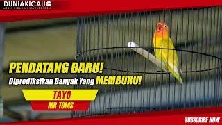 Video PENDATANG BARU!! TAYO Diprediksikan Banyak Yang MEMBURU!! MP3, 3GP, MP4, WEBM, AVI, FLV Maret 2018
