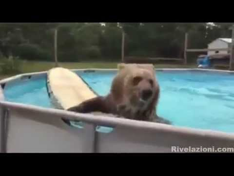 orso grizzly si diverte in piscina