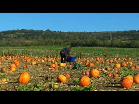 Halloween: Kürbis direkt vom Feld selbst aussuchen