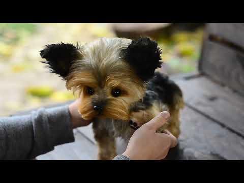 Handmade toy Puppy York Jemmy