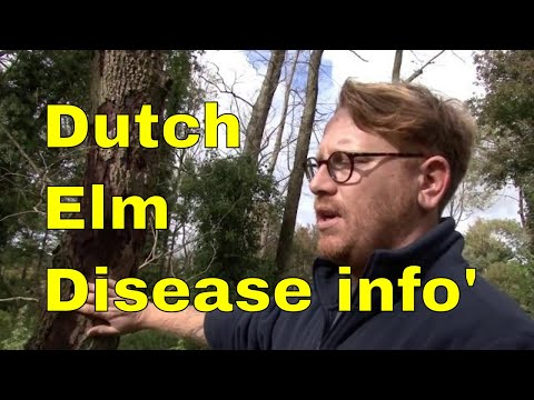 Dutch Elm Disease & Elm Bark Beetle - Tree pests and diseases: