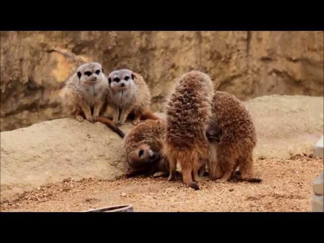 ミーアキャット団子 - とくしま動物園 ~ Meerkat at Tokushima Zoo