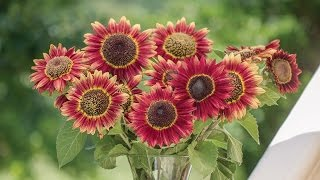 Burpee 'Crimson Blaze' Sunflower