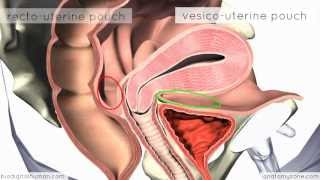 Introduction To Female Reproductive Anatomy - 3D Anatomy Tutorial