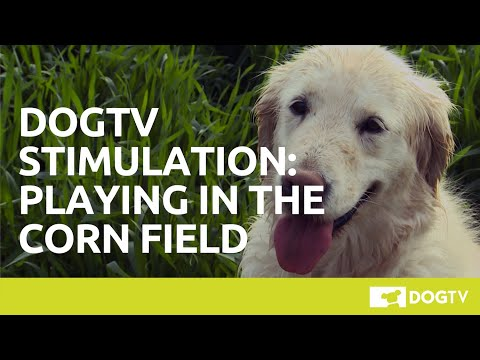 Video DOGTV Stimulation: Dog Playing in Corn Field download in MP3, 3GP, MP4, WEBM, AVI, FLV January 2017