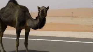 Liwa United Arab Emirates  City pictures : Camels on the road to Liwa, United Arab Emirates