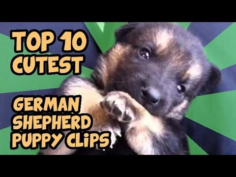 top 10 - teneri cuccioli di pastore tedesco!