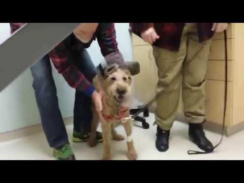 Un perro ciego ve a su familia tras una operación de la vista