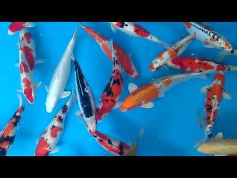Hand Picked Koi from Madan Koi
