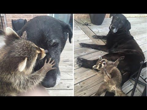 小浣熊的媽媽發生車禍去世後大家都很擔心牠,沒想到一隻黑狗靠近…大家都暖哭了!