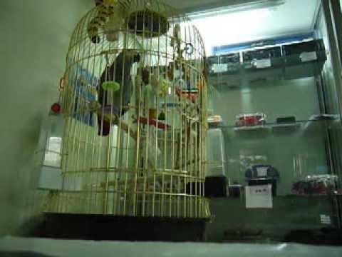 говорящий попугай Кикер (видео)