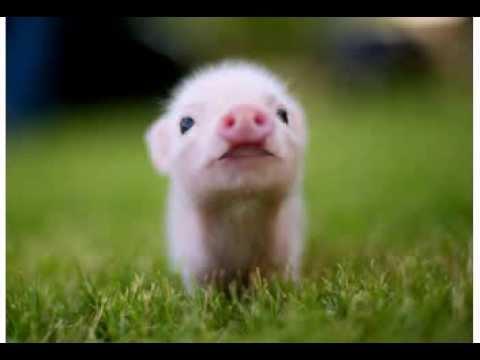 Happy Birthday! Funny Birthday Videos – Penelope the Pig