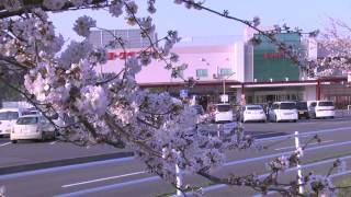 鹿島千本桜 エブリア前河川敷