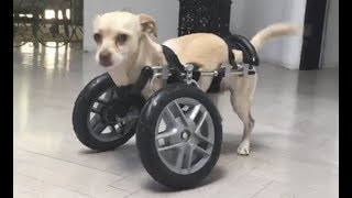 LIVE: Adoptable Two Legged Chihuahua Puppy Learns How To Use Her Wheels | The Dodo LIVE by The Dodo