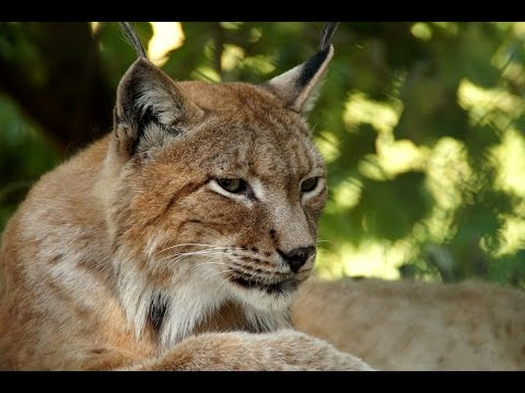13 Interesting Lynx Facts