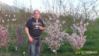#1035 Japanische MiniZierkirsche - Prunus incisa cunera