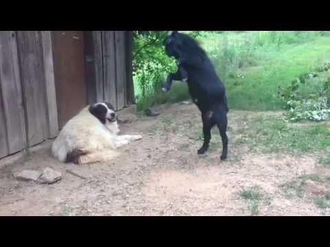 Вирусное видео Великобритании: Коза раздражает собаку
