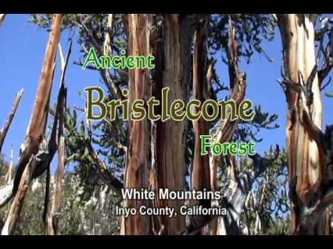 Bristlecone (Ancient Forest) - White Mountai (видео)