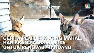 Download Video Ini Caracal dan Savannah, Kucing Termahal Senilai Ratusan Juta Rupiah MP3 3GP MP4