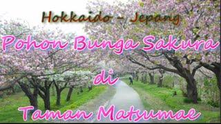 Matsumae Japan  city photos : Japan Travel: Pohon Bunga Sakura di Taman Matsumae Sakura Festival, Hokkaido60