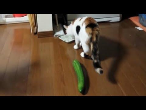 貓咪吃飯吃到一半,被後面「突然」出現的黃瓜給嚇得半死!
