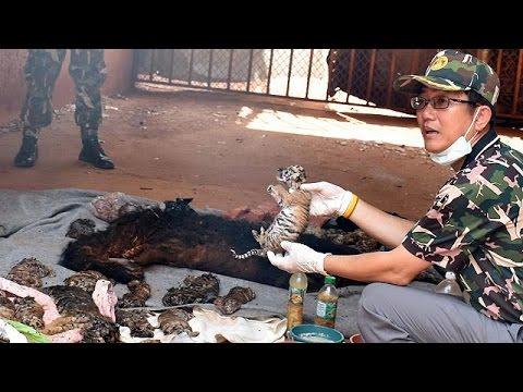 Ταϊλάνδη: 40 νεκρά τιγράκια σε καταψύκτη βουδιστικού ναού