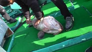 Морская рыбалка.Групер 20кг на джиг,Чеджу май 2013.