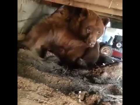 Bear under a porch leaves reluctantly