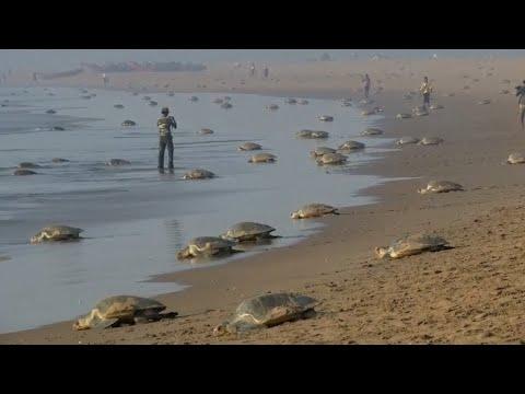 Strand in Indien: Massenansturm der Meeresschildkröte ...