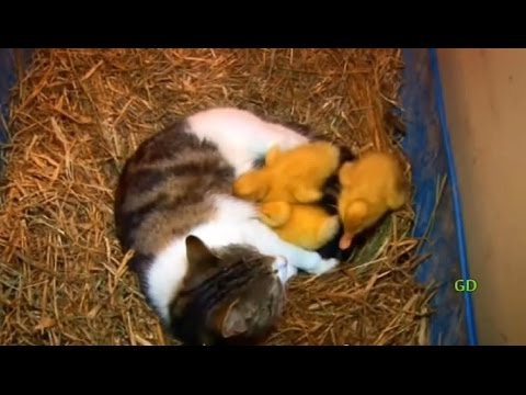 The Cat And The Ducklings (Animal Odd Couples)