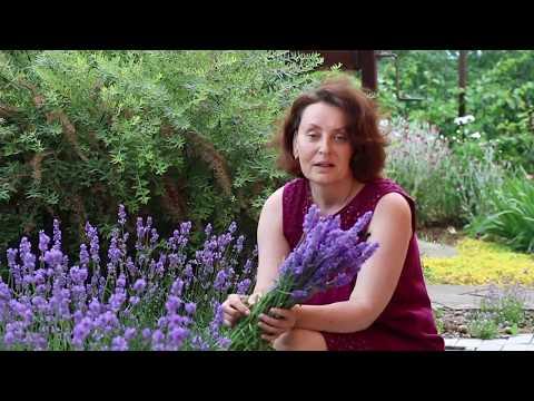 3 Совета Лета.  Июнь в саду Лаванда и розы. - DomaVideo.Ru