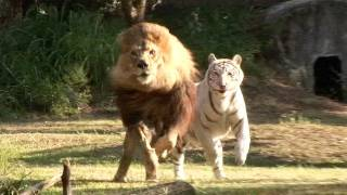 Lion And White Tiger In Love