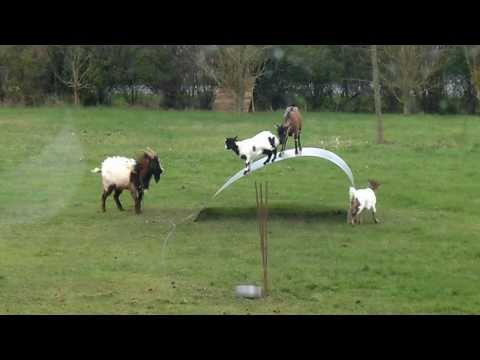 Funny Goats Balance on Steel Ribbon
