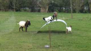 Chèvres en équilibre - goats balancing on a flexible steel ribbon