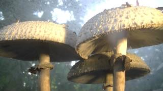 Mushroom time lapse over 48 hours timelapse photography Chlorophyllum Molybdites - YouTube