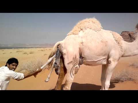 Секс верблиди