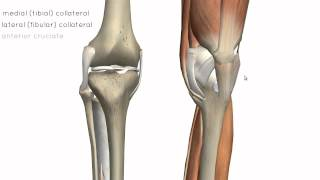 Knee Joint - Part 2 - 3D Anatomy Tutorial