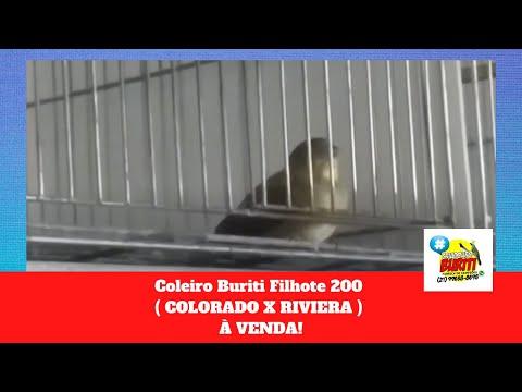 Galeria de Vídeos Coleiro Buriti Filhote 200