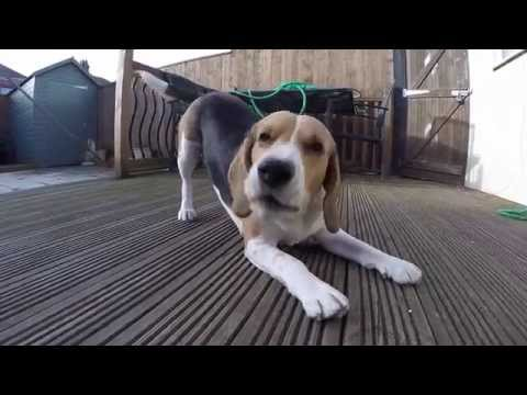 the ordinary falling of a beagle