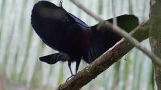 Bird of Paradise dances to Daft Punk