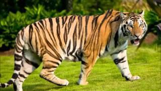 Suara Harimau Mp3