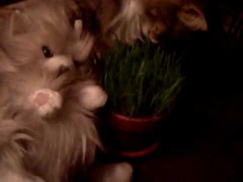 CatTip#2 PetGrass
