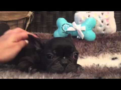 Loveable, stalky french Bulldog baby boy