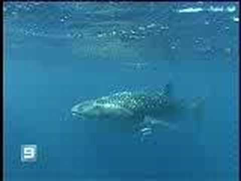 Rescate Tiburón ballena